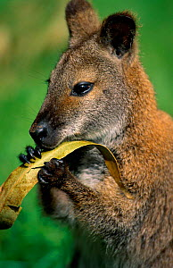 Red-necked wallaby feeding, Lamington NP, Queensland, Australia.  -  Staffan Widstrand
