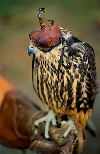 Laggar falcon {Falco jugger} hooded and perched on falconer's gloved hand, Italy  -  Staffan Widstrand