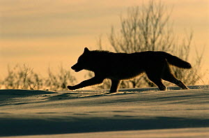 Grey wolf running silhouetted {Canis lupus} Toropets, Russia. - Staffan Widstrand