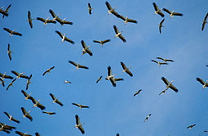 RF- Flock of European white storks (Ciconia ciconia) on migration. Tanzania. (This image may be licensed either as rights managed or royalty free.)  -  Staffan Widstrand