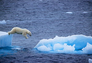 Polar bear leaping from ice floe to ice floe {Ursus maritimus} Greenland.  -  Staffan Widstrand