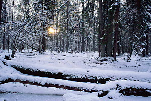 Primeval forest in winter, Bialowieza NP, Poland  -  Niall Benvie