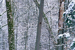 Primeval forest in winter with black woodpecker hole, Bialowieza NP, Poland  -  Niall Benvie