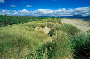 Sand dunes with marram grass colonisation at Newborough Warren nature reserve, Anglesea, Wales  -  Tim Edwards