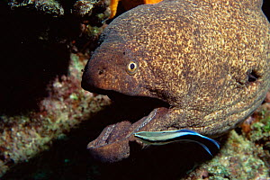 Yellow edged moray eel {Gymnothorax flavimarginatus} with cleaner wrasse. Milne Bay, Australia  -  Brent Hedges