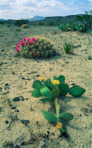 Big Bend NP, Chihuahuan desert, Texas, USA. Strawberry cactus + Prickly pear cactus. - Rolf Nussbaumer