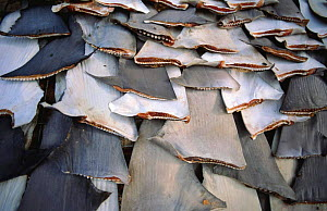 Shark fins drying in the sun, Trincomalee, Sri Lanka  -  Mark Carwardine