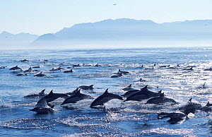 Large school of Common dolphins feed on Sardines, False Bay, W Cape, S Africa {Delphinus  -  Mark Carwardine