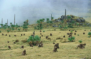Gelada baboon group feeding at top of ridge, Simien Mt NP, Ethiopia {Theropithecus gelada}  -  Ingo Arndt