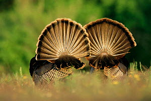 Rear view of Male Wild Turkey tail feathers during display {Meleagris gallopavo} Texas, USA - Rolf Nussbaumer