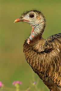 Female Wild Turkey head portrait {Meleagris gallopavo} Texas, USA. - Rolf Nussbaumer