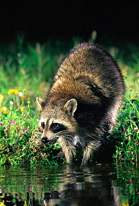 Raccoon washing food in water {Procyon lotor}Texas, USA.  -  Rolf Nussbaumer