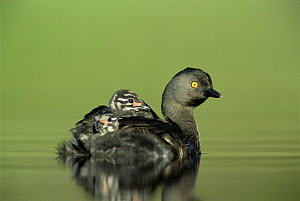 Least grebe carries two chicks on back {Tachybaptus dominicus} Texas, USA - Rolf Nussbaumer
