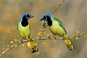 RF- Green jay pair (Cyanocorax yncas). Texas, USA. (This image may be licensed either as rights managed or royalty free.)  -  Rolf Nussbaumer