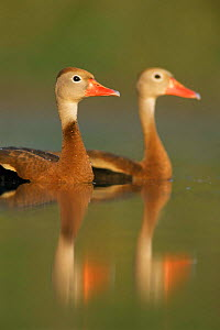 Pair of Black belled whistling ducks {Dendrocygna autumnalis} Texas, USA  -  Rolf Nussbaumer