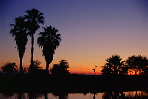 Rio Grande Valley sunset with silhouette of Black bellied whistling duck, Texas, USA.  -  Rolf Nussbaumer