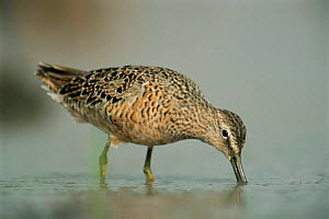 Long billed dowitcher feeding in water {Limnodromus scolopaceus} Texas, USA. - Rolf Nussbaumer