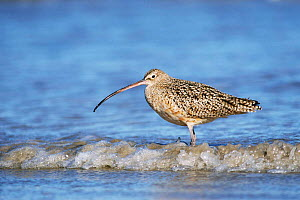 Long billed curlew in water {Numenius americanus} Texas, USA  -  Rolf Nussbaumer