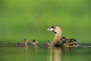 Pied billed grebe with chicks, one on back, Texas, USA {Podilymbus podiceps}  -  Rolf Nussbaumer