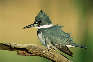 Belted kingfisher male {Megaceryle alcyon} Texas, USA  -  Rolf Nussbaumer