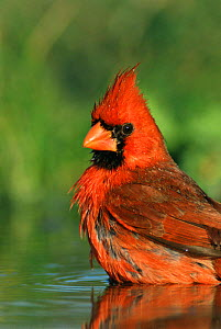 Northern cardinal male bathing {Cardinalis cardinalis} Texas, USA - Rolf Nussbaumer