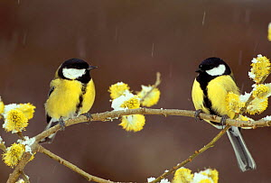 Two Great tits with willow catkins in snow, France {Parus major} - Dave Watts