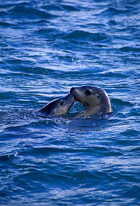 Australian sealion with young at sea surface {Neophoca cinerea} Australia. Endangered species.  -  Dave Watts