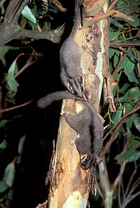 Leadbeater's possums {Gymnobelideus leadbeateri} Victoria, Australia  -  Dave Watts