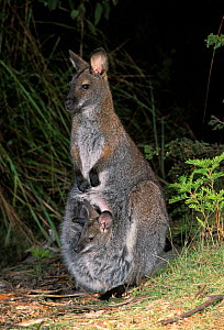 Bennett's Wallaby {Macropus rufogriseus rufogriseus} - subspecies of Red necked wallab with joey in pouch, Tasmania  -  Dave Watts