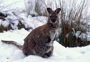 Bennett's Wallaby {Macropus rufogriseus rufogriseus} - subspecies of Red necked wallaby with joey in snow  Tasmania  -  Dave Watts