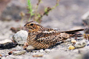 Lesser nighthawk female with egg at nest {Chordeiles acutipennis} Texas, USA. - Rolf Nussbaumer