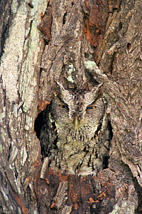 Eastern screech owl {Megascops asio} camouflaged in nest hole in Mesquite tree, Texas, USA  -  Rolf Nussbaumer