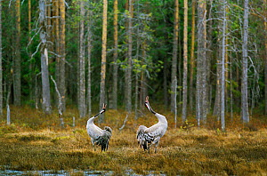Common cranes displaying by woodland {Grus grus} Finland - Jorma Luhta