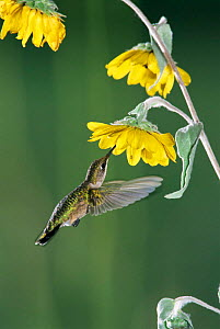 Ruby throated hummingbird {Archilochus colubris} female feeds at sunflower. Texas, USA - Rolf Nussbaumer