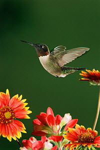 Ruby throated hummingbird {Archilochus colubris} male flying. Texas, USA - Rolf Nussbaumer
