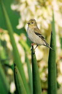 American goldfinch on yucca plant, winter plumage {Carduelis tristis} Texas, USA  -  Rolf Nussbaumer