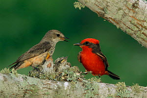 Vermilion flycatcher pair at nest feeding chicks, Texas, USA {Pyrocephalus rubinus} - Rolf Nussbaumer