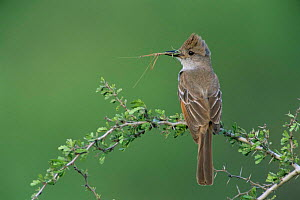 Ash throated flycatcher {Myiarchus cinerascens} with stick insect prey, Texas, USA  -  Rolf Nussbaumer