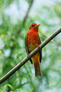 Summer tanager, immature male {Piranga rubra} Texas, USA  -  Rolf Nussbaumer