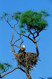 American bald eagle at nest in tree {Haliaeetus leucocephalus} Florida, USA  -  Rolf Nussbaumer