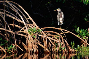 Tricoloured heron {Egretta tricolor} on mangrove, Sanibel Is, Florida, USA  -  Rolf Nussbaumer