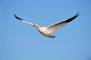 Snow goose in flight {Chen caerulescens} Bosque del Apache, NM, USA. - Rolf Nussbaumer