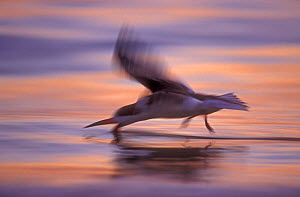 Black skimmer skimming at sunset {Rynchops nigra} Florida, USA - Rolf Nussbaumer