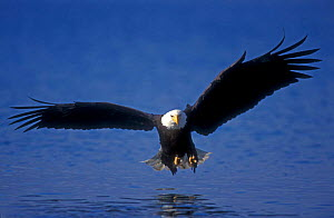 American bald eagle about to catch fish {Haliaeetus leucocephalus} Alaska, USA  -  Rolf Nussbaumer