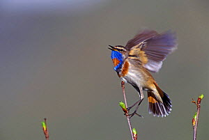 Bluethroat, male singing + flapping wings {Luscinia svecica} Switzerland  -  Rolf Nussbaumer