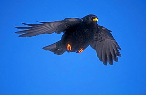 Alpine chough in flight {Pyrrhocorax graculus} Switzerland  -  Rolf Nussbaumer