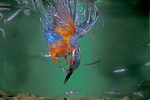 Common kingfisher male diving underwater for fish {Alcedo atthis} Switzerland - Rolf Nussbaumer