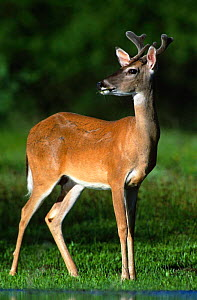 White tailed deer, young male {Odocoileus virginianus} Texas, USA - Rolf Nussbaumer
