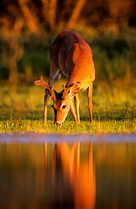 White tailed deer {Odocoileus virginianus} young male grazing beside water at sunset, Texas, USA - Rolf Nussbaumer