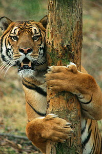Chinese tiger {Panthera tigris amoyensis} chewing & scratching tree bark to clean claws & teeth. Meuachan Mountains, China, captive. - Francois Savigny